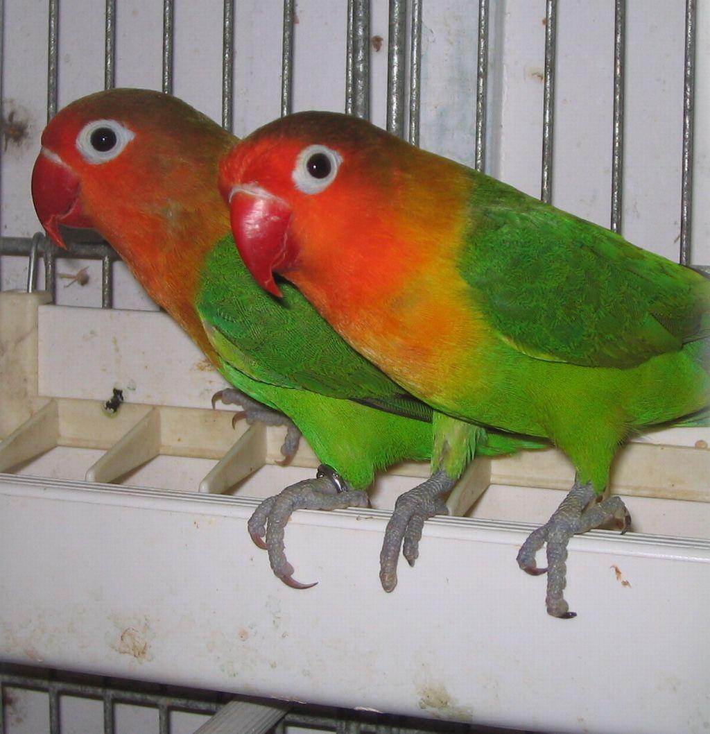 pappagalli6g.jpg